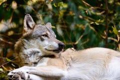 Un lupo Fotografia Stock