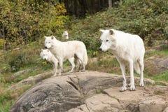 Un lupo artico nella caduta Immagini Stock Libere da Diritti