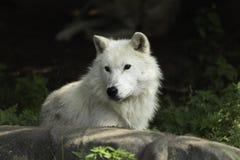 Un lupo artico solo che riposa su una roccia Fotografia Stock