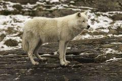 Un lupo artico solo nella caduta Immagine Stock