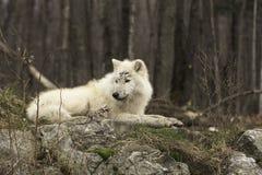 Un lupo artico solo nella caduta Fotografia Stock Libera da Diritti