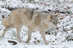 Un lupo artico solo in un lupo artico di sceneLone di inverno in una scena di inverno Fotografia Stock Libera da Diritti