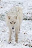 Un lupo artico solo in un lupo artico di sceneLone di inverno in una scena di inverno Fotografie Stock