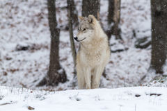 Un lupo artico solo in una scena di inverno Fotografie Stock