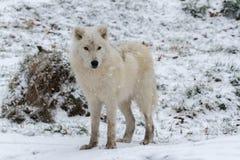 Un lupo artico solo in una scena di inverno Fotografie Stock Libere da Diritti