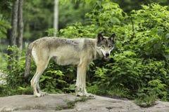 Un lupo comune in una foresta Fotografia Stock Libera da Diritti