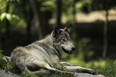 Un lupo comune in una foresta Fotografia Stock