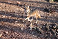 Un lupo corrente   Fotografia Stock