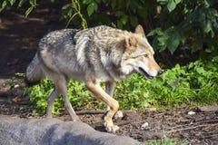 Un lupo grigio cammina lungo la roccia e guarda fotografie stock