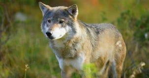 Un lupo grigio che cammina nella foresta che cerca alimento