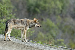 Un lupo grigio che vi esamina Immagine Stock Libera da Diritti
