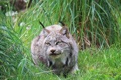 Un lynx Images stock