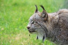 Un lynx Photographie stock libre de droits
