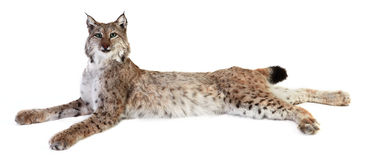 Un lynx bourré Image stock
