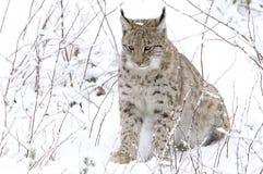 Un lynx dans la forêt de Bohème Photographie stock