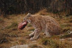 Un lynx et sa nourriture Photographie stock libre de droits