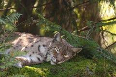 Un lynx eurasien de sommeil Images libres de droits