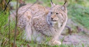 Un lynx européen dans la forêt à l'automne en retard banque de vidéos