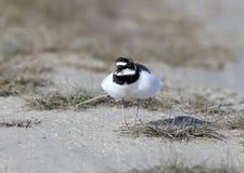 Un mâle actuel d'un pluvier de sonnerie dans le plumage d'élevage photographie stock