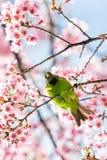 Un mâle coloré D'or-a affronté la perche de Leafbird sur la branche de l'Himalaya sauvage de cerise photo stock