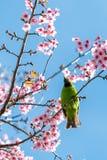 Un mâle coloré D'or-a affronté la perche de Leafbird sur la branche de l'Himalaya sauvage de cerise photo libre de droits