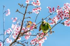 Un mâle coloré D'or-a affronté la perche de Leafbird sur la branche de l'Himalaya sauvage de cerise image libre de droits