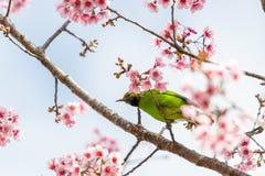Un mâle coloré D'or-a affronté la perche de Leafbird sur la branche de l'Himalaya sauvage de cerise images libres de droits