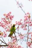 Un mâle coloré D'or-a affronté la perche de Leafbird sur la branche de l'Himalaya sauvage de cerise photographie stock