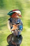Un mâle de canard de mandarine dans l'eau reflétant la végétation Photos stock