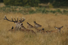 Un mâle de cerfs communs rouges et un x28 beuglants ; Elaphus& x29 de Cervus ; entouré par ses hinds fixant dans l'herbe Photo libre de droits