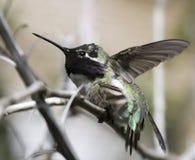 Un mâle de colibri du ` s de côte était perché sur une branche image libre de droits