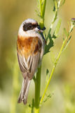 Un mâle de mésange de penduline/de pendulinus de Remiz photos libres de droits