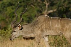 Un mâle plus grand de kudu, Botswana Image libre de droits