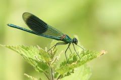 Un mâle a réuni des splendens de Calopteryx de Demoiselle étés perché sur une feuille d'ortie cuisante Image libre de droits