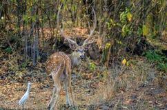 Un mâle a repéré des cerfs communs de Chital regardant l'appareil-photo photographie stock libre de droits