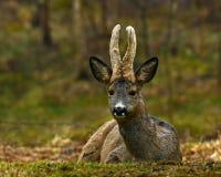 Un mâle Roe Deer, mensonges de capreolus de Capreolus dans le repos par début de la matinée photos stock