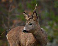 Un mâle Roe Deer qui ont perdu un klaxon image stock