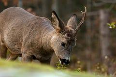 Un mâle Roe Deer qui ont perdu un klaxon, et mangent sur des feuilles d'un buisson photo libre de droits