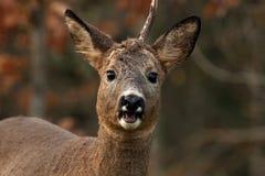 Un mâle Roe Deer qui ont perdu un klaxon et regarder la caméra photographie stock libre de droits