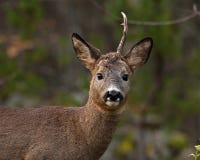 Un mâle Roe Deer qui ont perdu un klaxon et regarder la caméra photographie stock