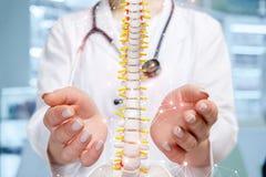 Un médecin avec un modèle artificiel d'épine dans des ses mains images stock