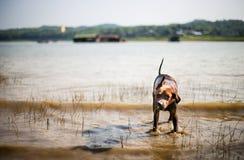 Un mélange de laboratoire secouant outre de l'eau après la natation en rivière locale Photographie stock