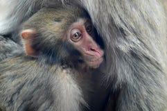 Un macaco giapponese della madre tiene il suo bambino fotografie stock libere da diritti