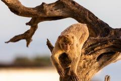 Un macaco n di Barbary un albero immagine stock