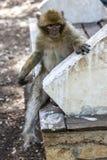 Un macaque de Barbary se sienta en un asiento en el bosque del cedro de Azrou en Marruecos Foto de archivo libre de regalías