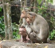 Un Macaque de capot - singe indien - famille avec la mère, le père et le jeune garçon actif Image libre de droits