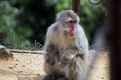 Un macaque japonés distraído apenas que cuelga hacia fuera imagen de archivo libre de regalías