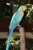 Un Macaw Azul-y-Amarillo Foto de archivo libre de regalías