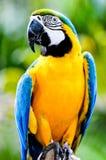 Un macaw coloré dans le sauvage Images stock