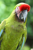 Un Macaw verde fotografia stock